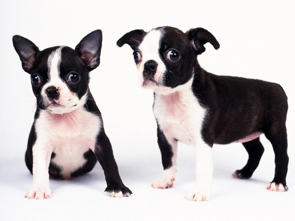 black-and-white-dogs-puppies-wallpaper-background