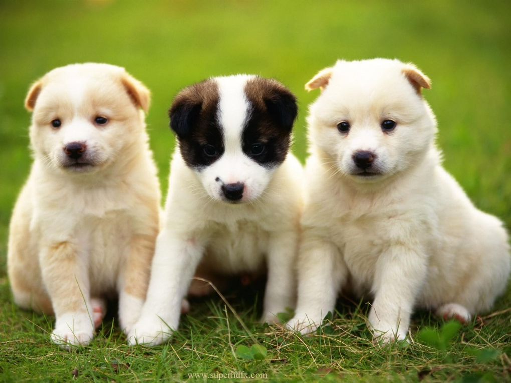 desktop-wallpapers-for-cute-puppies